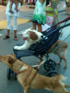 Only one lucky pup got to ride in the stroller.
