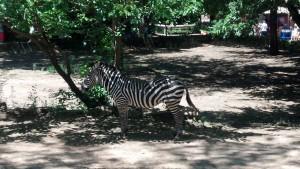 HORSE! erm.... Zebra!